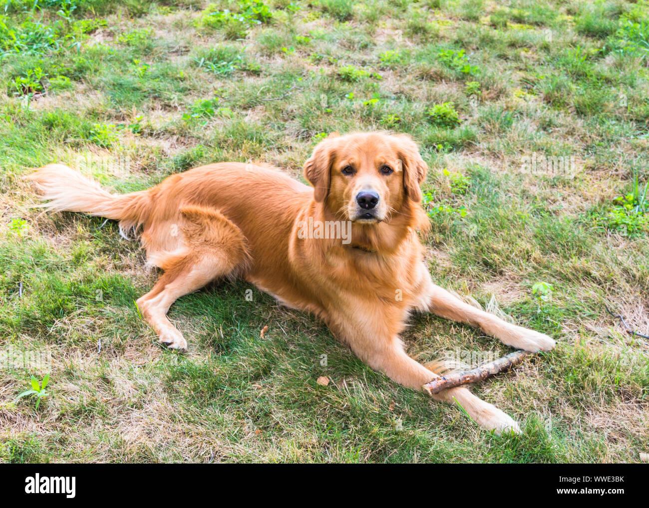 Golden Retriever assis dans l'herbe verte avec un bâton Banque D'Images