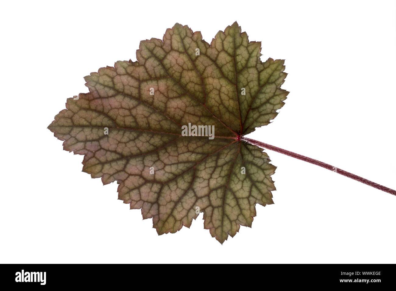 Shadow Bell (Heuchère), leaf Banque D'Images