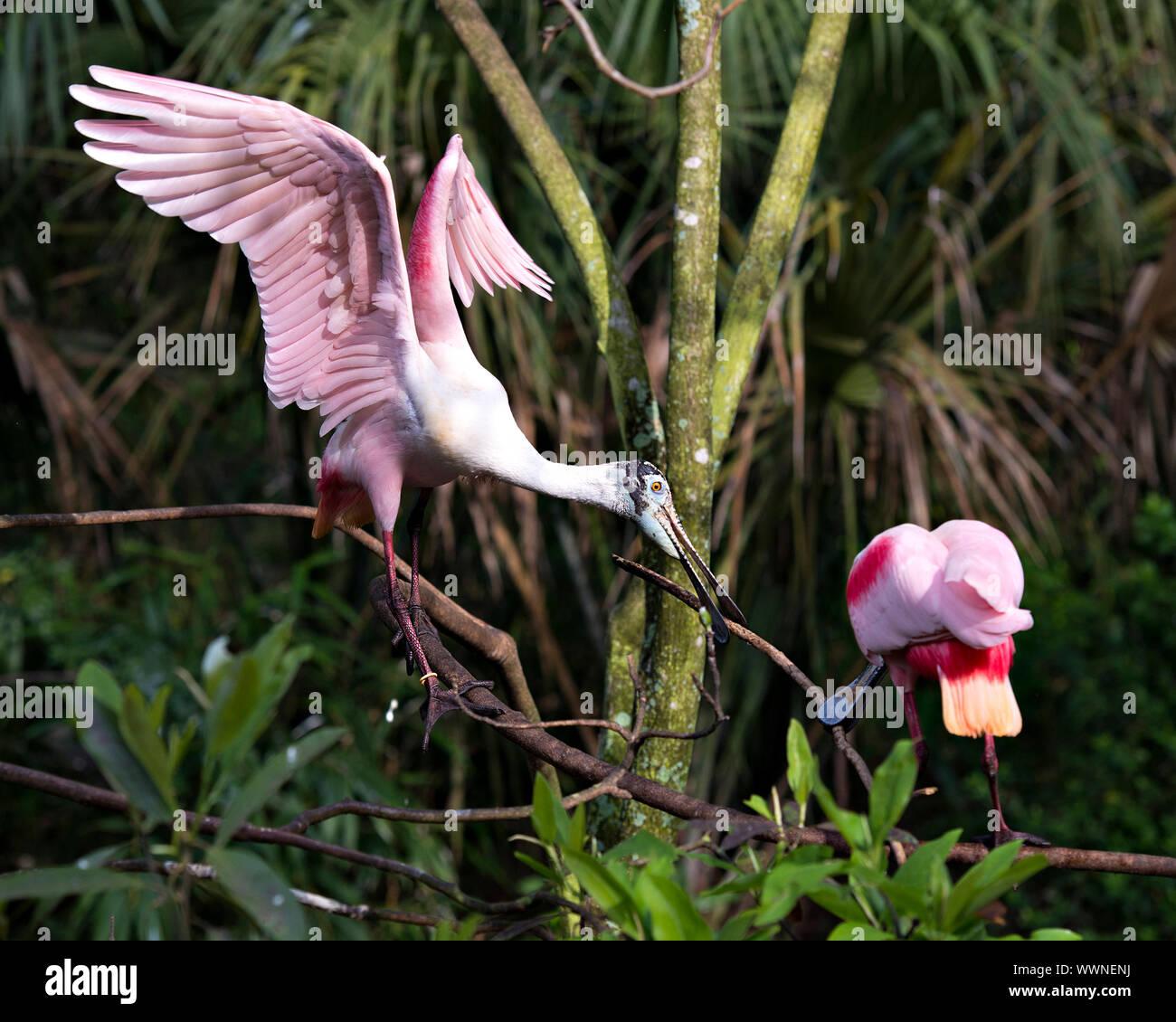 Roseate Spoonbill couple d'oiseaux dans la parade nuptiale se perchent sur profiter de ses branches et de l'environnement environnant. Banque D'Images