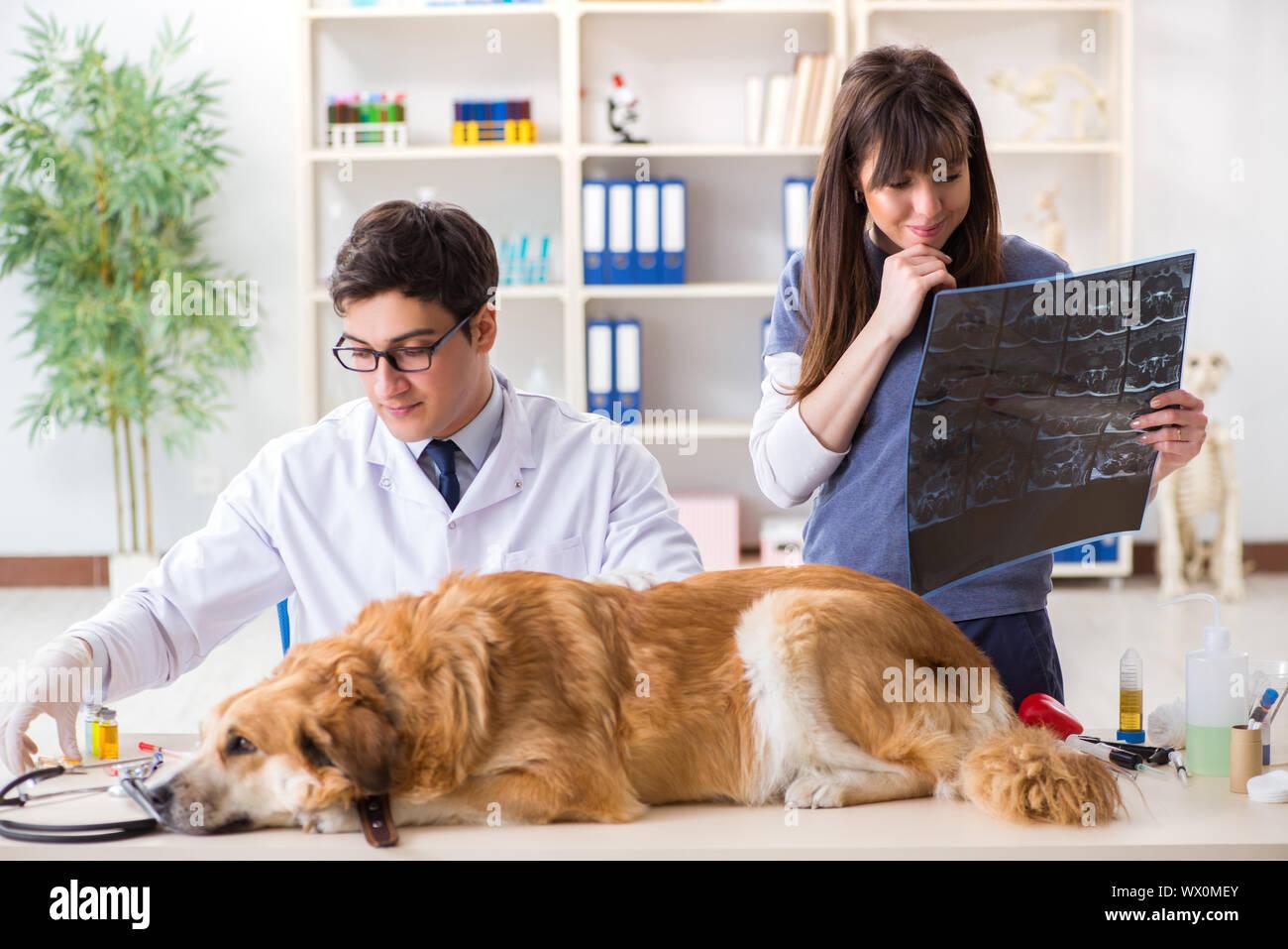 Médecin et sous contrôle jusqu'golden retriever dog dans l'EFP cli Banque D'Images
