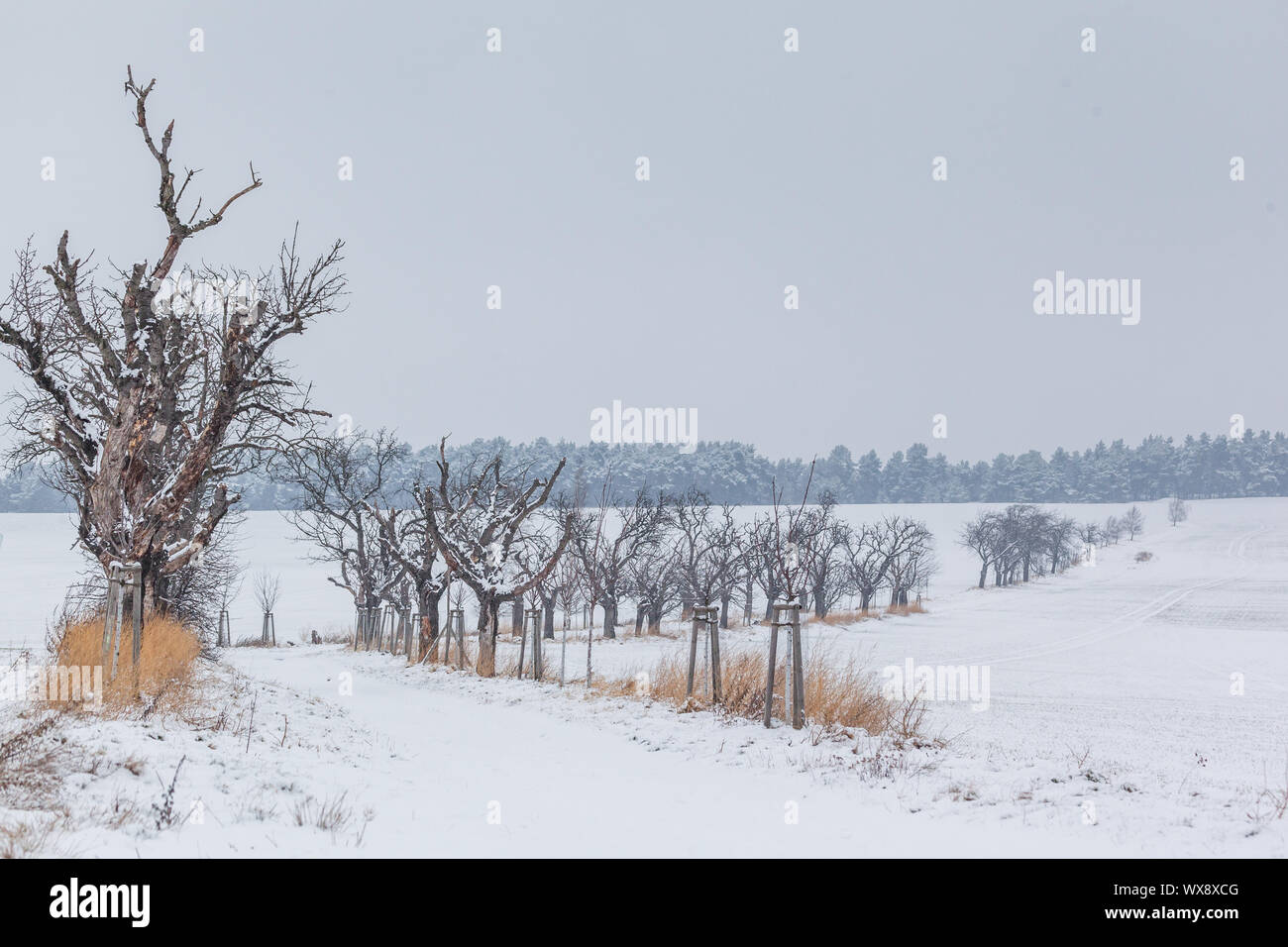 Trajectoire du champ avec l'avenue bordée d'arbres en hiver Banque D'Images