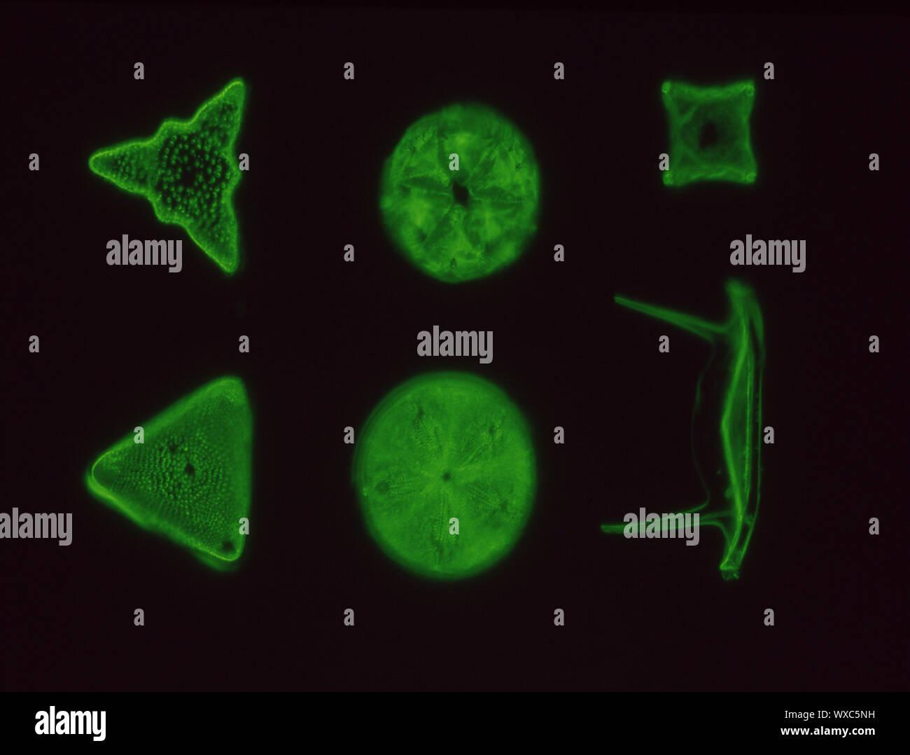 Les diatomées de la mer sous le microscope 100x Banque D'Images