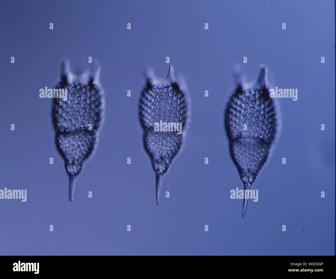 Radiolaires de la mer sous le microscope 100x Banque D'Images