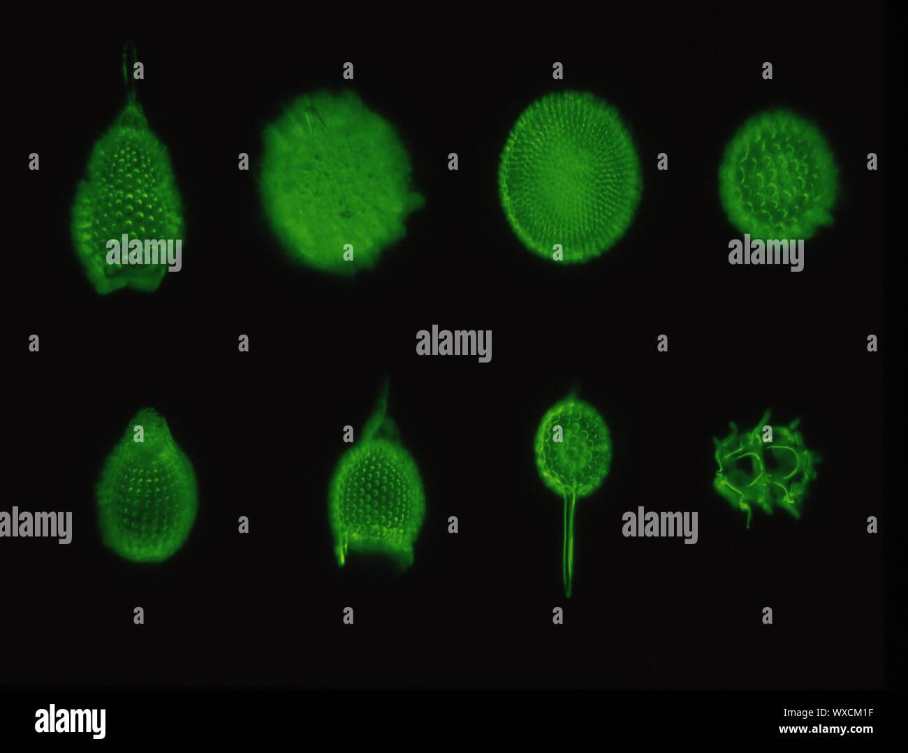 Radiolaires sous le microscope 100x Banque D'Images
