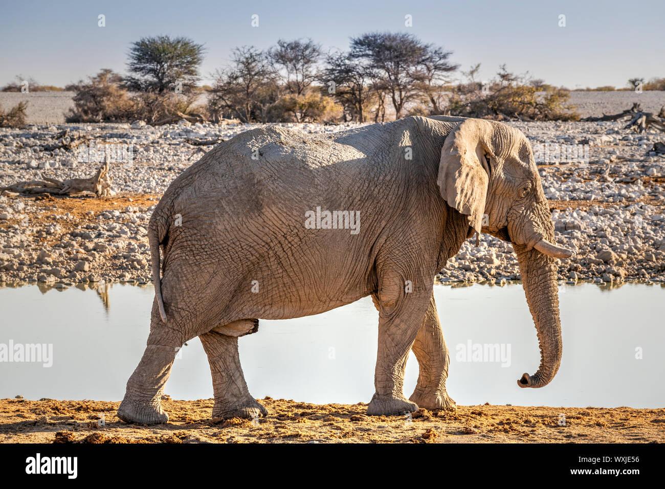 L'éléphant, le Parc National d'Etosha, Namibie, Kunene Banque D'Images