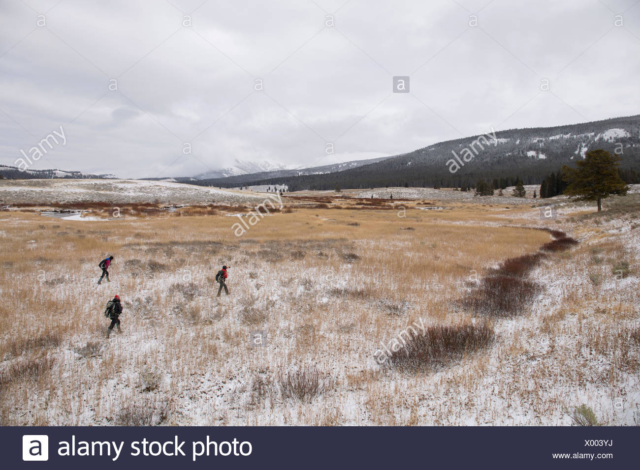 Les membres de l'établissement Yellowstone Wolf Project trek d'inspecter un loup malade dans le trou du Gardiner, dans le nord du parc national Yellowstone. Photo Stock