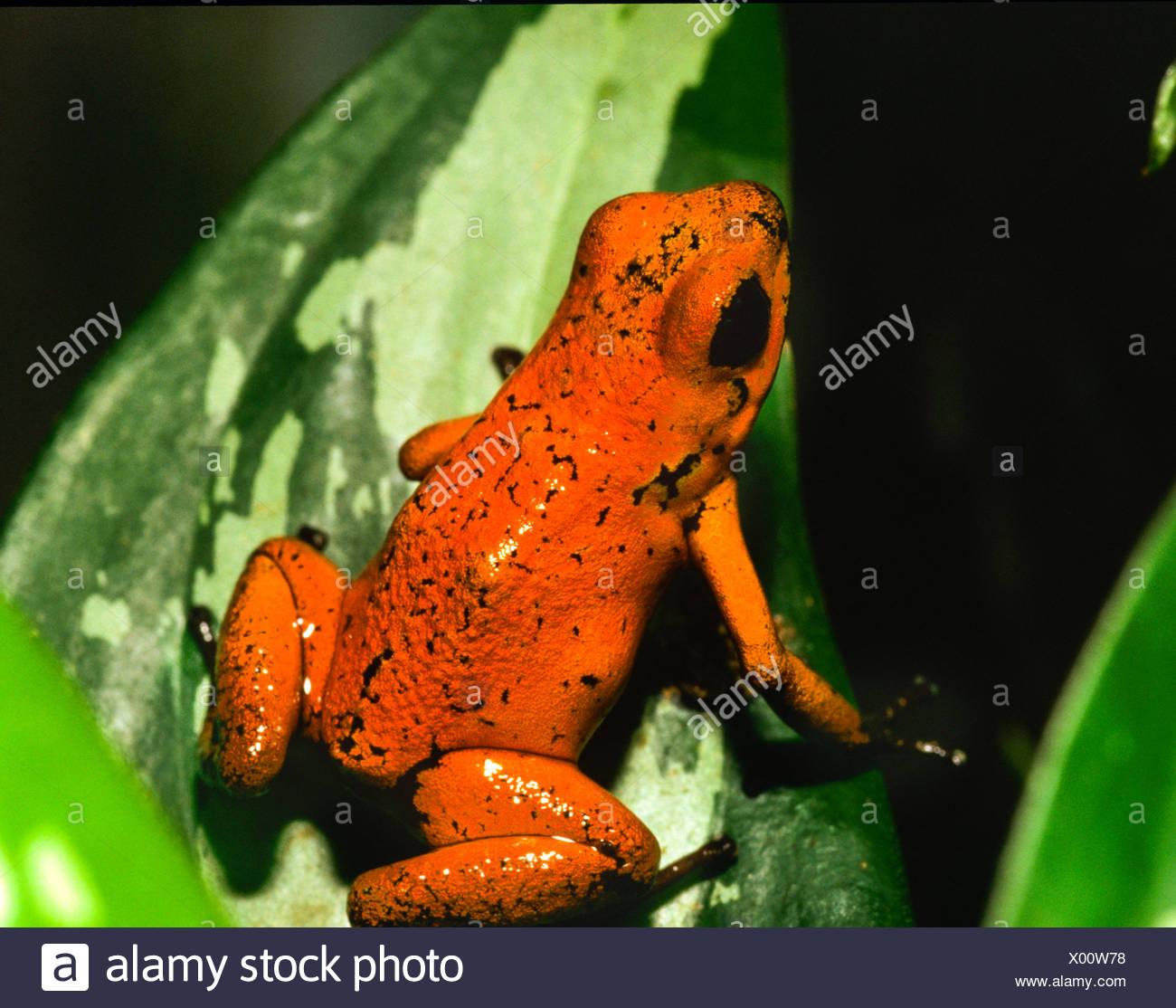 Dendrobates, Grenouille (dendrobates pumilio), Costa Rica Photo Stock