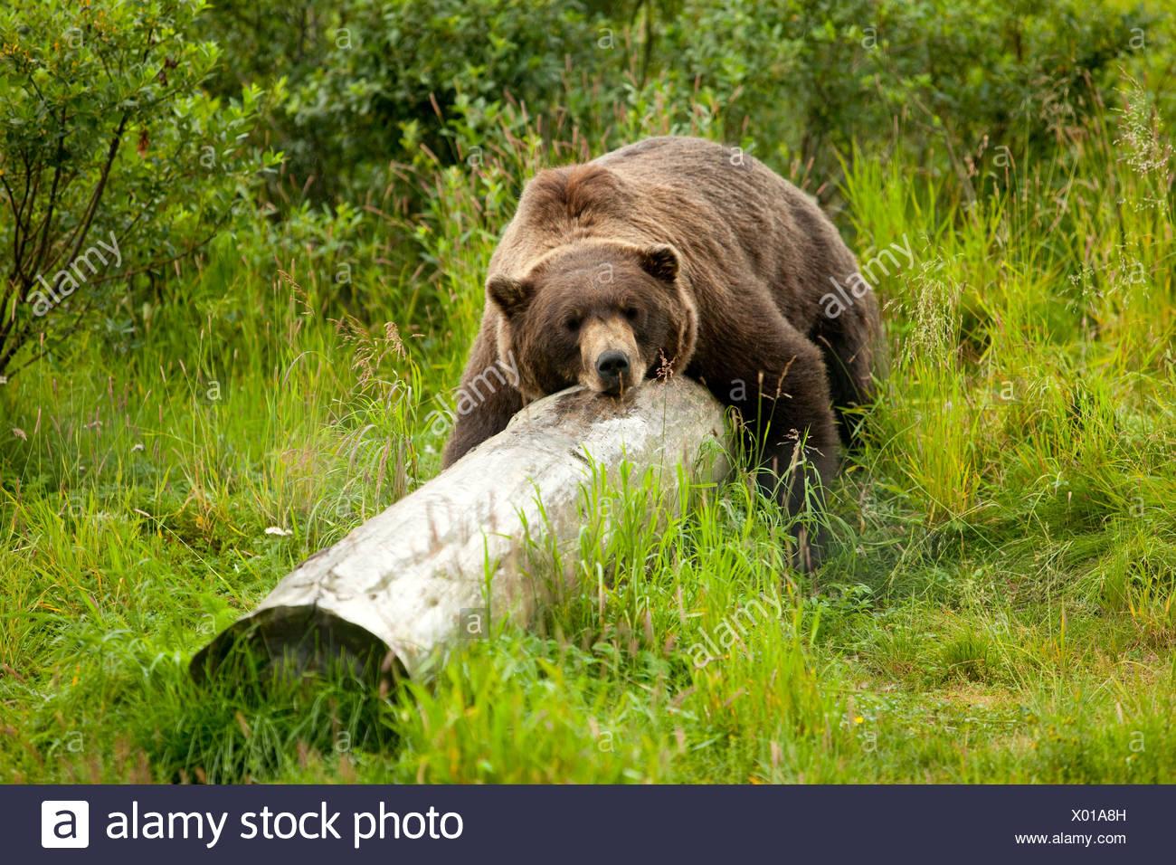 L'ours grizzli en captivité repose son corps tout entier sur un journal à l'Alaska Wildlife Conservation Center, Alaska Photo Stock
