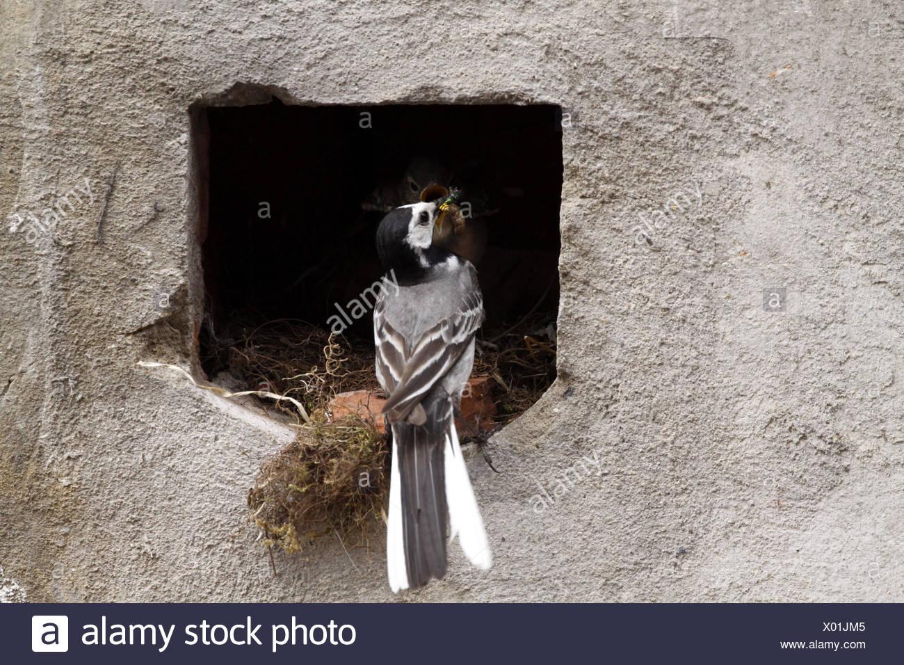 (L'alimentation) nid bergeronnettes Banque D'Images