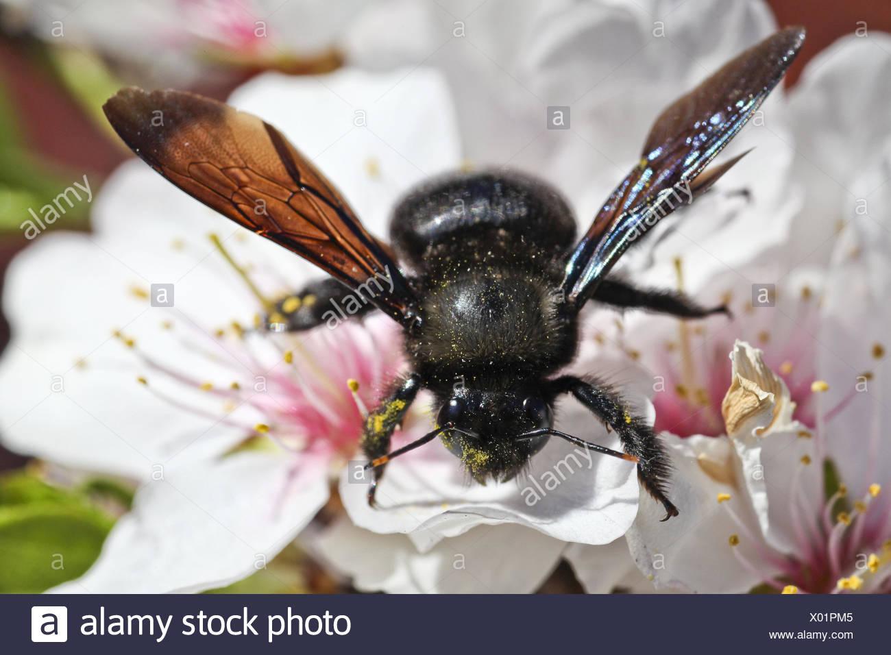 Fleur d'amygdales, abeille, Xylocopa violacea, Close up, Majorque, Les fleurs, les navires de la poussière, du nectar nectar, vol, recueillir, abeille, insecte, hyménoptères, des animaux, de l'ensemble du corps, le pollen, Photo Stock