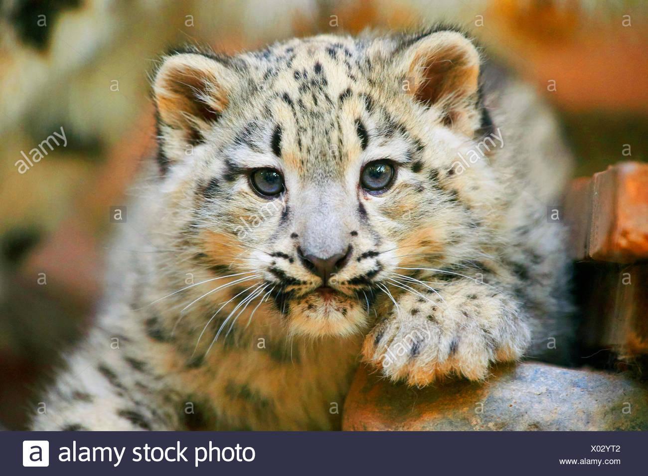Léopard des neiges (Uncia uncia, Panthera uncia), leopard cub, portrait Banque D'Images