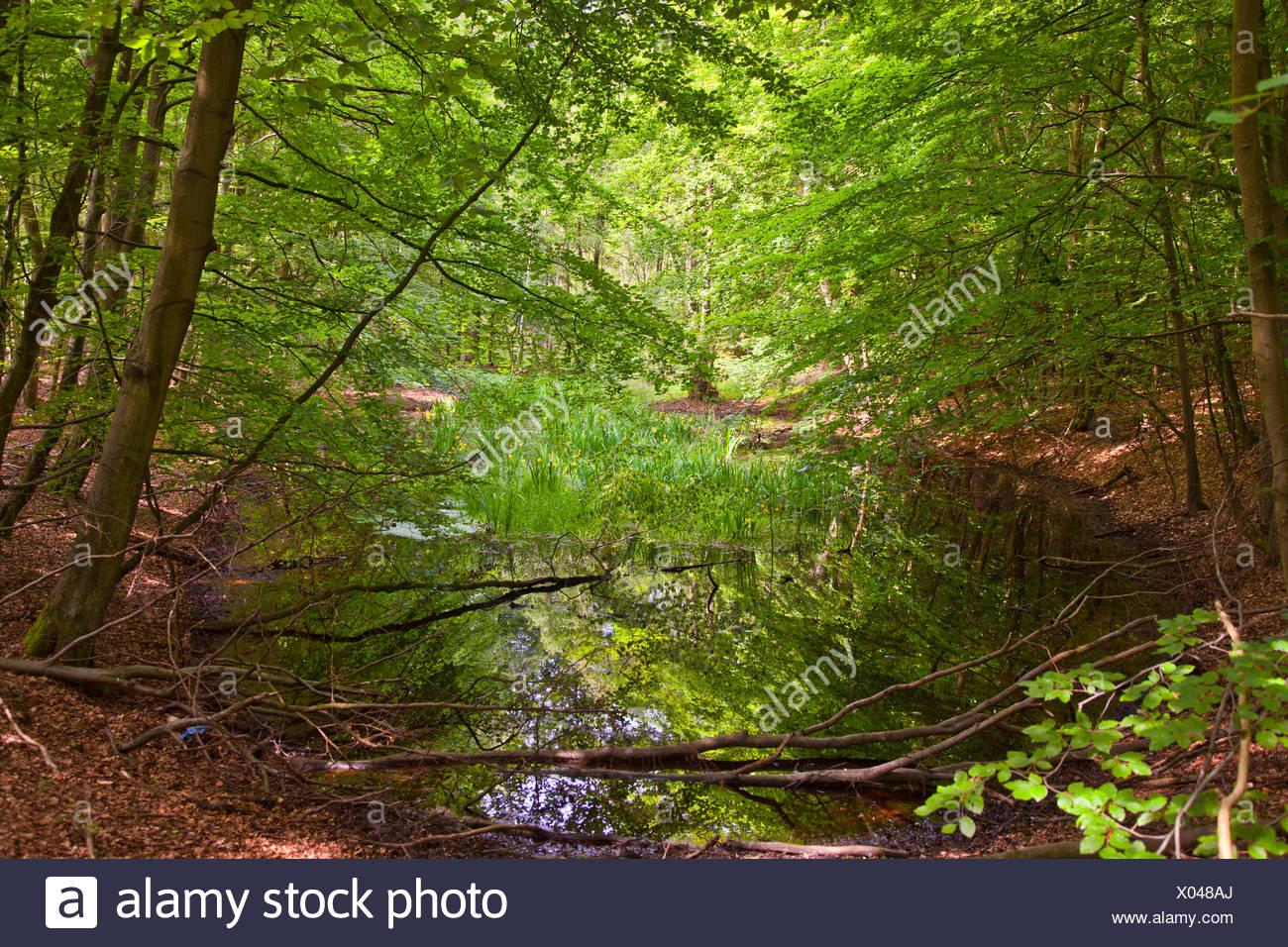 Étang dans une forêt marécageuse, Allemagne, Mecklembourg-Poméranie-Occidentale Banque D'Images
