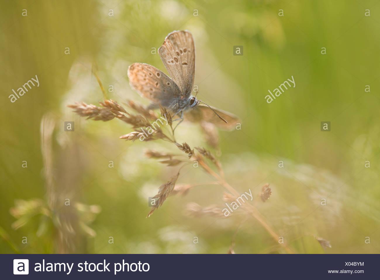 Blue (Polyommatus icarus commun), Thuringe, Allemagne Banque D'Images