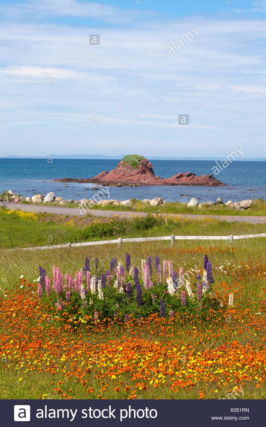 Domaine de fleurs sauvages le long du littoral à Heart's Content, Terre-Neuve et Labrador, Canada. Photo Stock