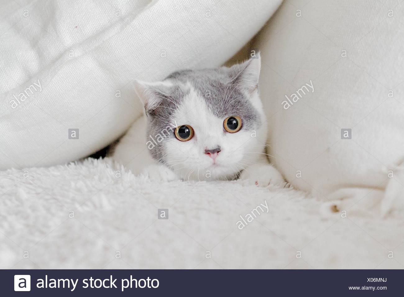 Cat se cachant dans les oreillers Photo Stock