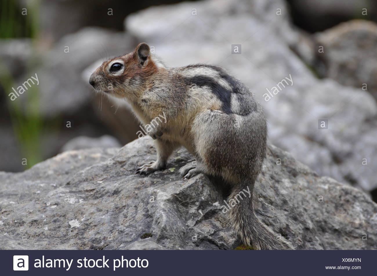 Canada, canada, Kanada, erdhrnchen, Lake Louise, ziesel, masse sqirrel, Photo Stock