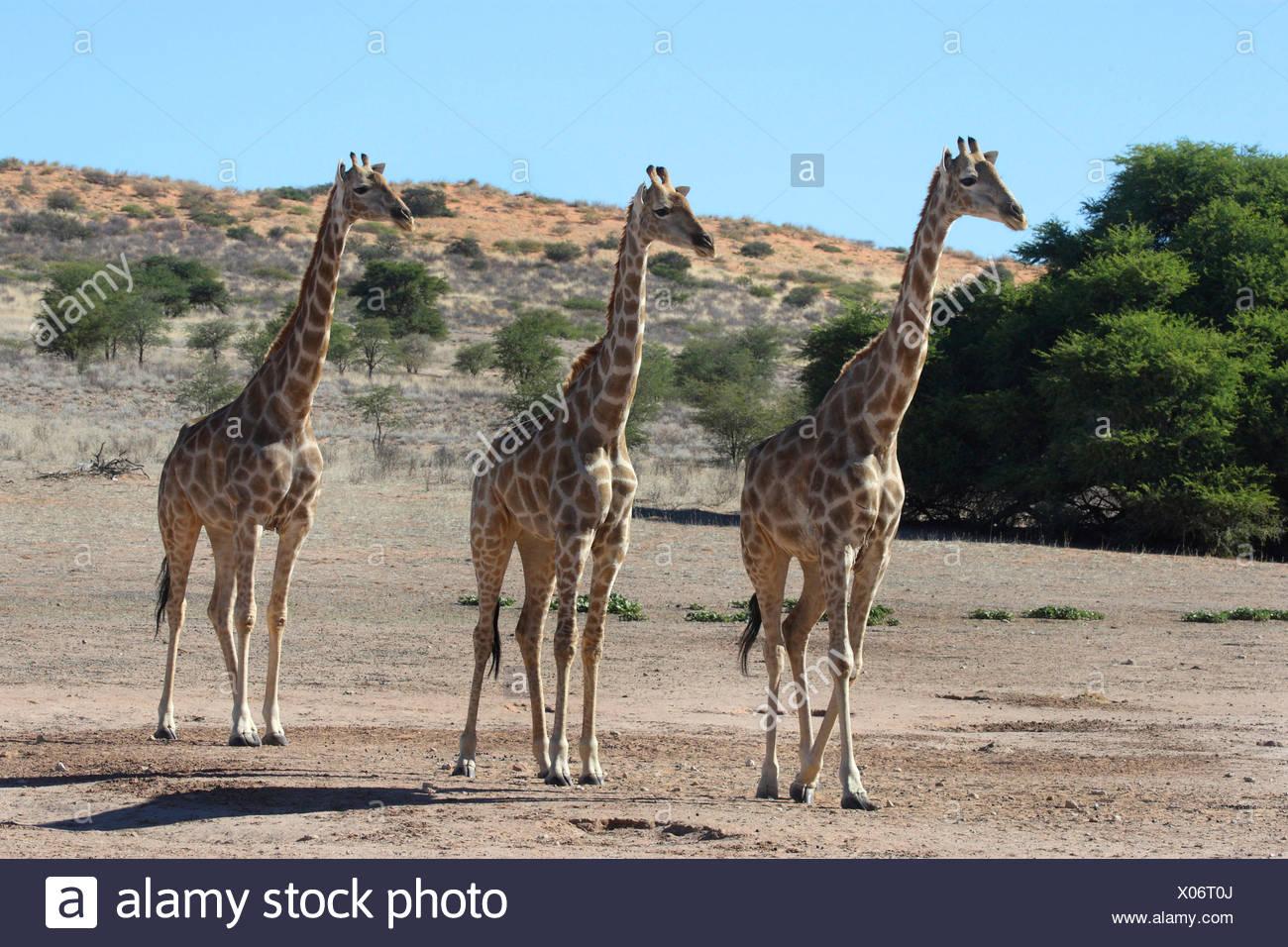 Girafe (Giraffa camelopardalis), trois animaux, marchant à travers la steppe côte à côte, Afrique du Sud, le parc transfrontalier Kgalagadi NP Photo Stock