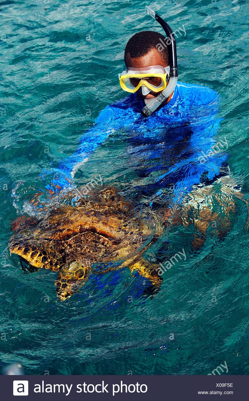La tortue imbriquée, la tortue imbriquée (Eretmochelys imbricata), man snorkeling avec les tortues de mer, les Seychelles Banque D'Images