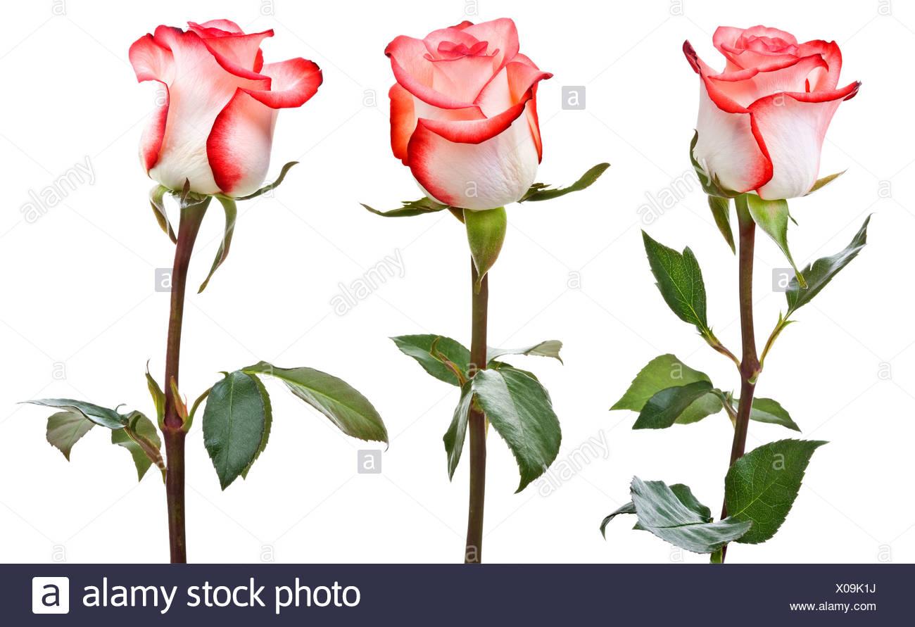 Des roses rose-blanc Photo Stock