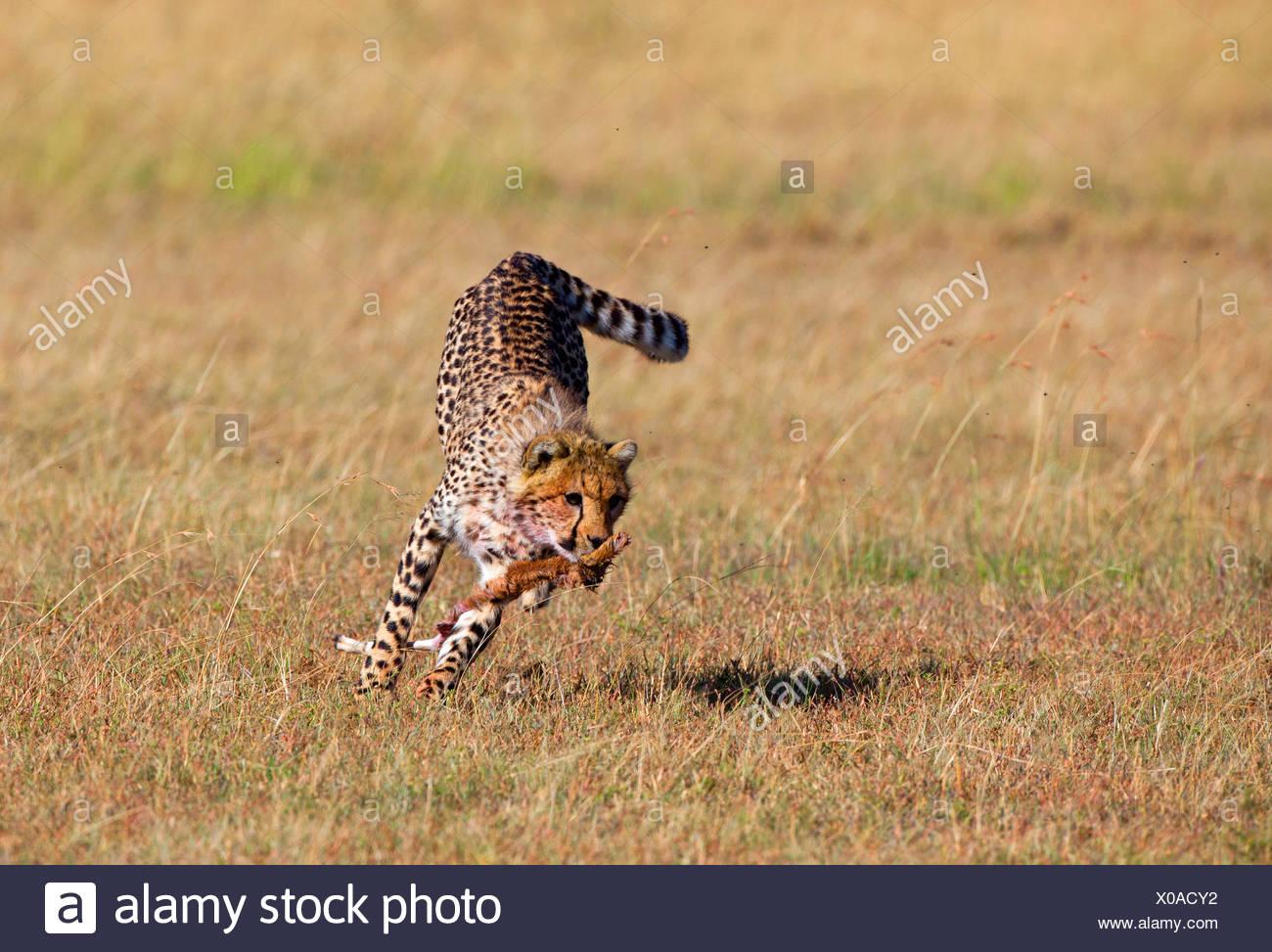 Le Guépard (Acinonyx jubatus), s'enfuit avec une partie d'un cadavre dans la bouche, Kenya, Masai Mara National Park Photo Stock