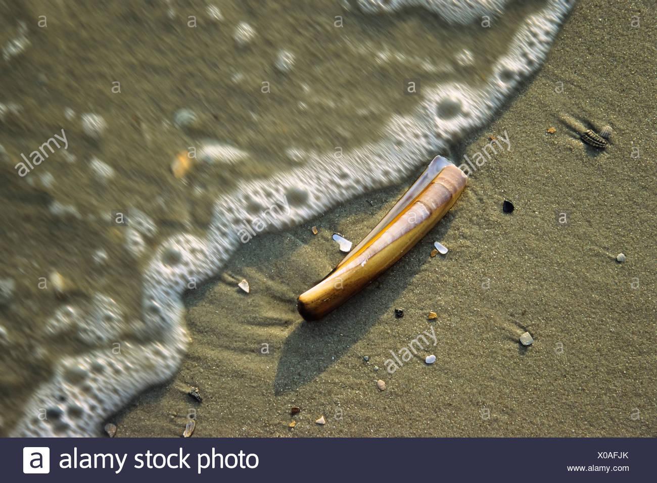 Rasoir Sword (Ensis ensis) sur une plage, mer du Nord Photo Stock
