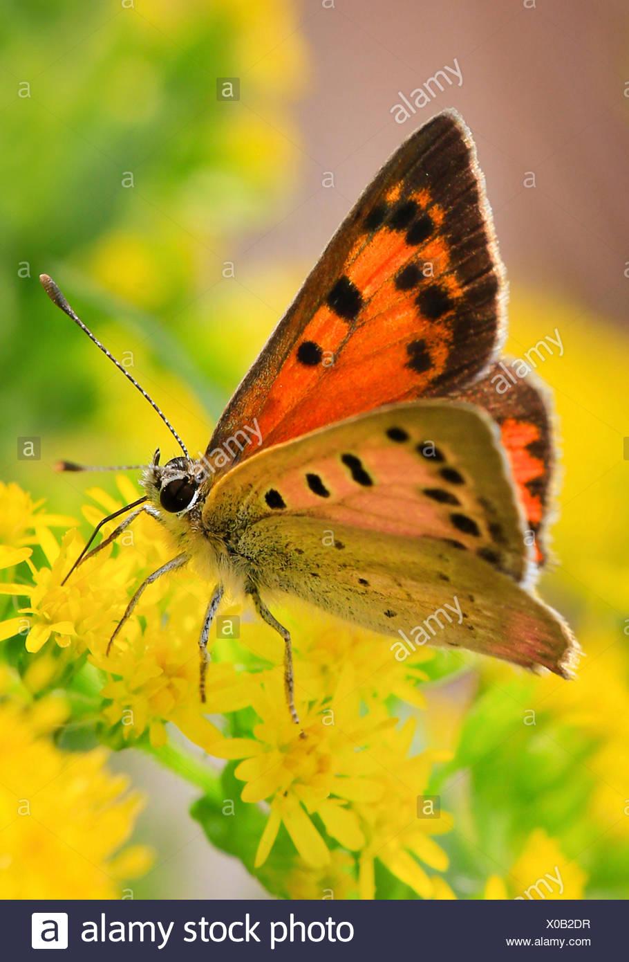 Petit cuivre (Lycaena phlaeas phlaeas), Chrysophanus, sucer le nectar des fleurs jaunes, Allemagne Photo Stock