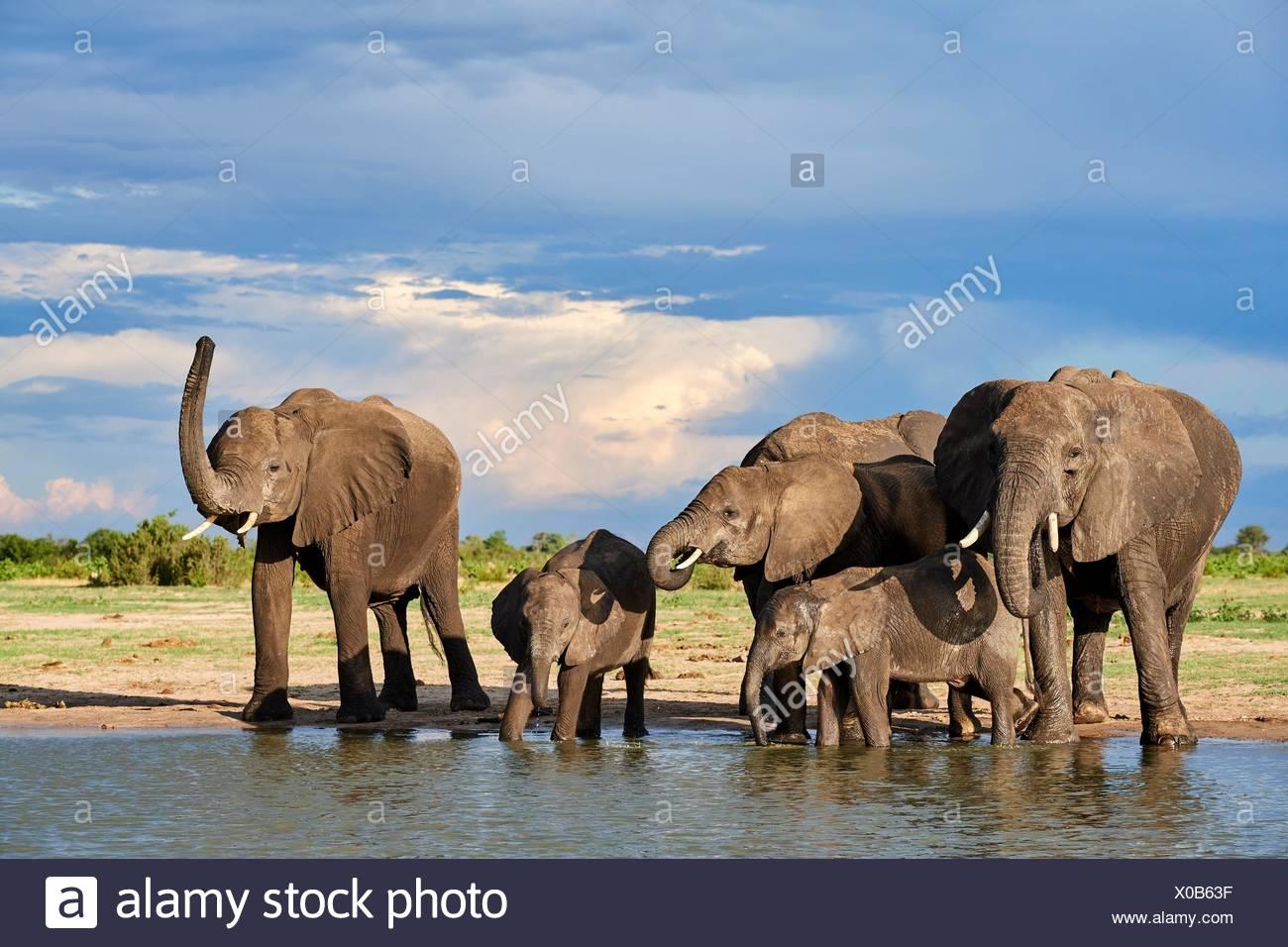 Groupe d'éléphants d'Afrique (Loxodonta africana) de l'alcool à un watehole. Le parc national de Hwange, Zimbabwe. Photo Stock