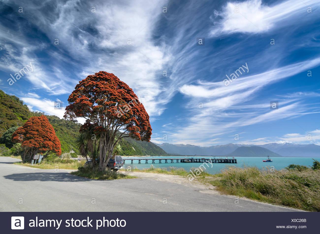 Floraison rouge de l'arbre de Noël de Nouvelle-Zélande (Metrosideros tomentosa), avec ciel nuageux, Jackson Bay, côte ouest, Tasman Photo Stock
