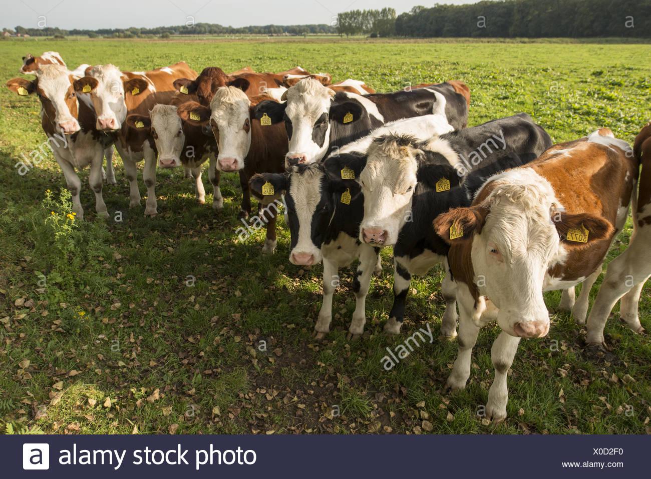 Les vaches néerlandais curieux Photo Stock
