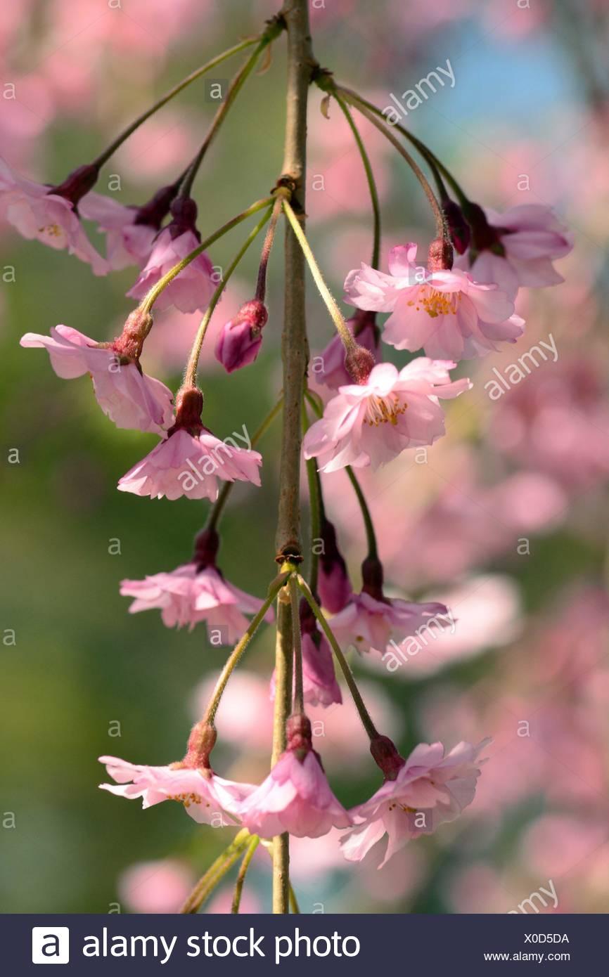 Un rameau en fleurs d'un cerisier pleureur higan, Prunus subhirtella pendula. Photo Stock