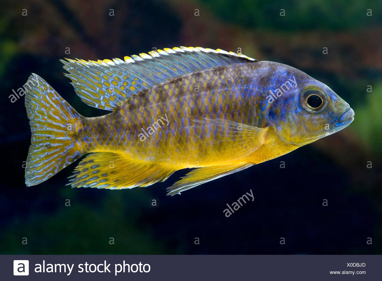 Malawi Cichlid (Protomelas virgatus), portrait Photo Stock