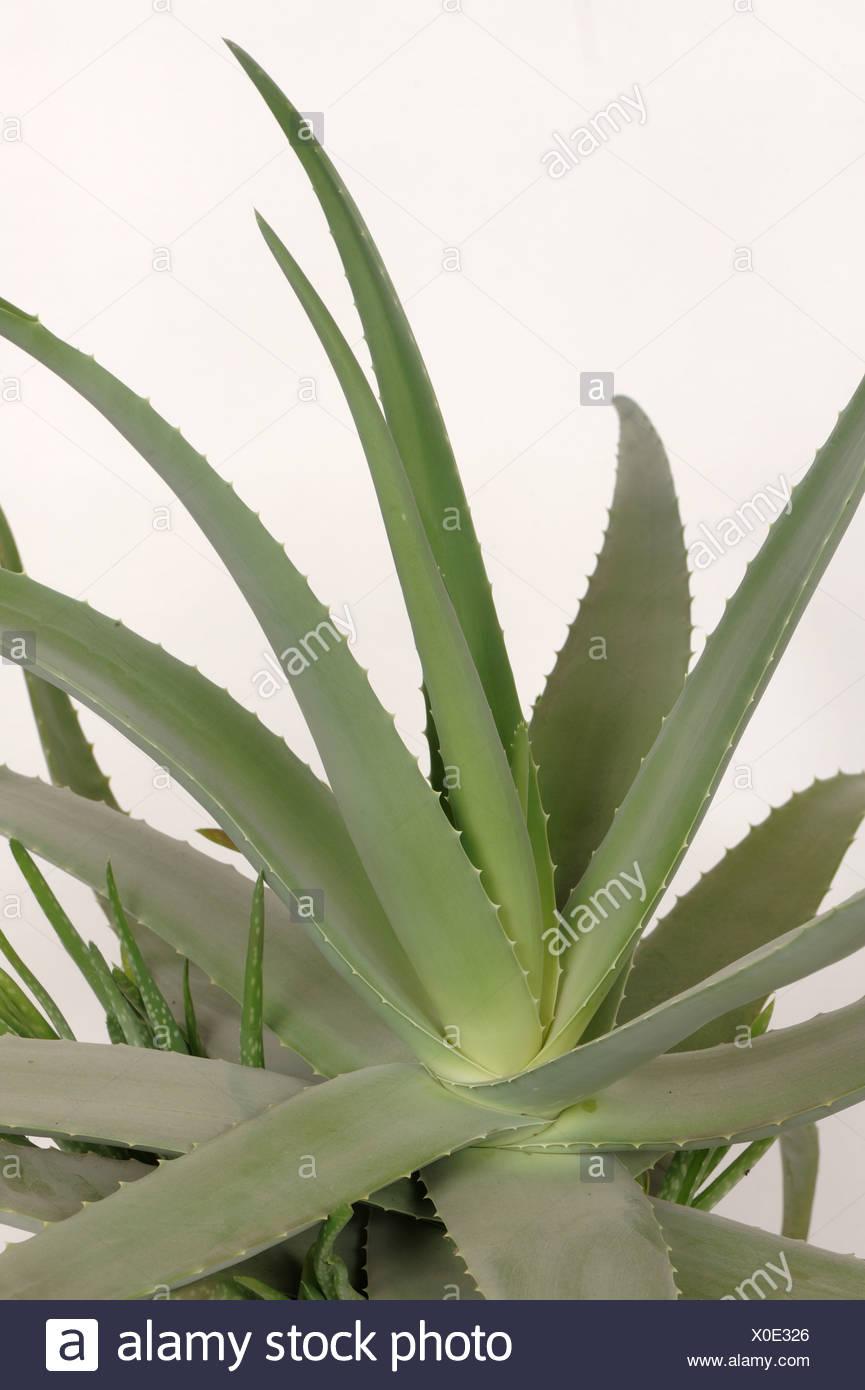 L'aloe vera pot plante avec des feuilles charnues et médicinales ornementales Photo Stock