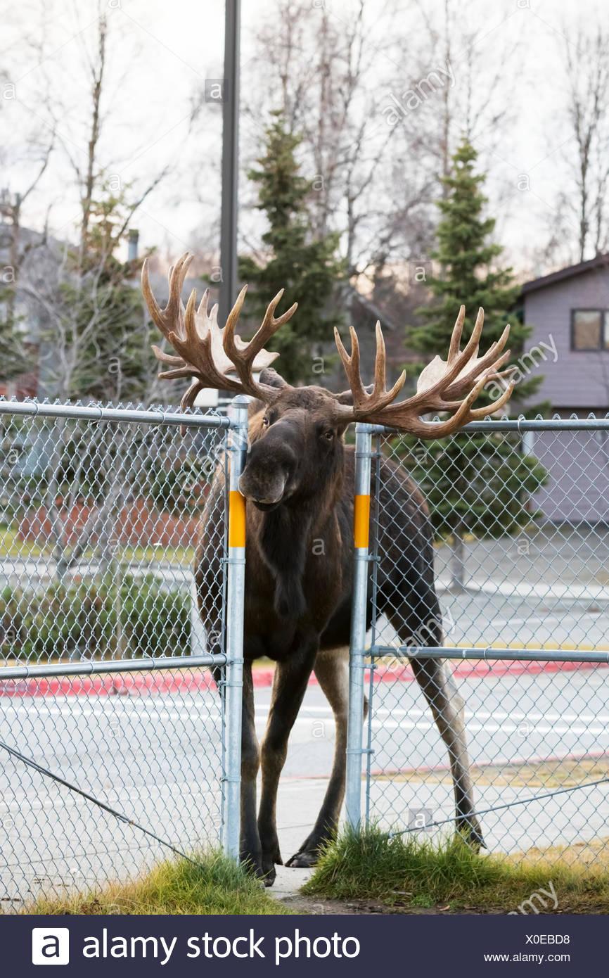 Un grand mâle de l'orignal (Alces alces) tire à travers une clôture à l'ouverture de l'école élémentaire Lake Hood cour pendant qu'à la suite d'un nouveau taureau Photo Stock