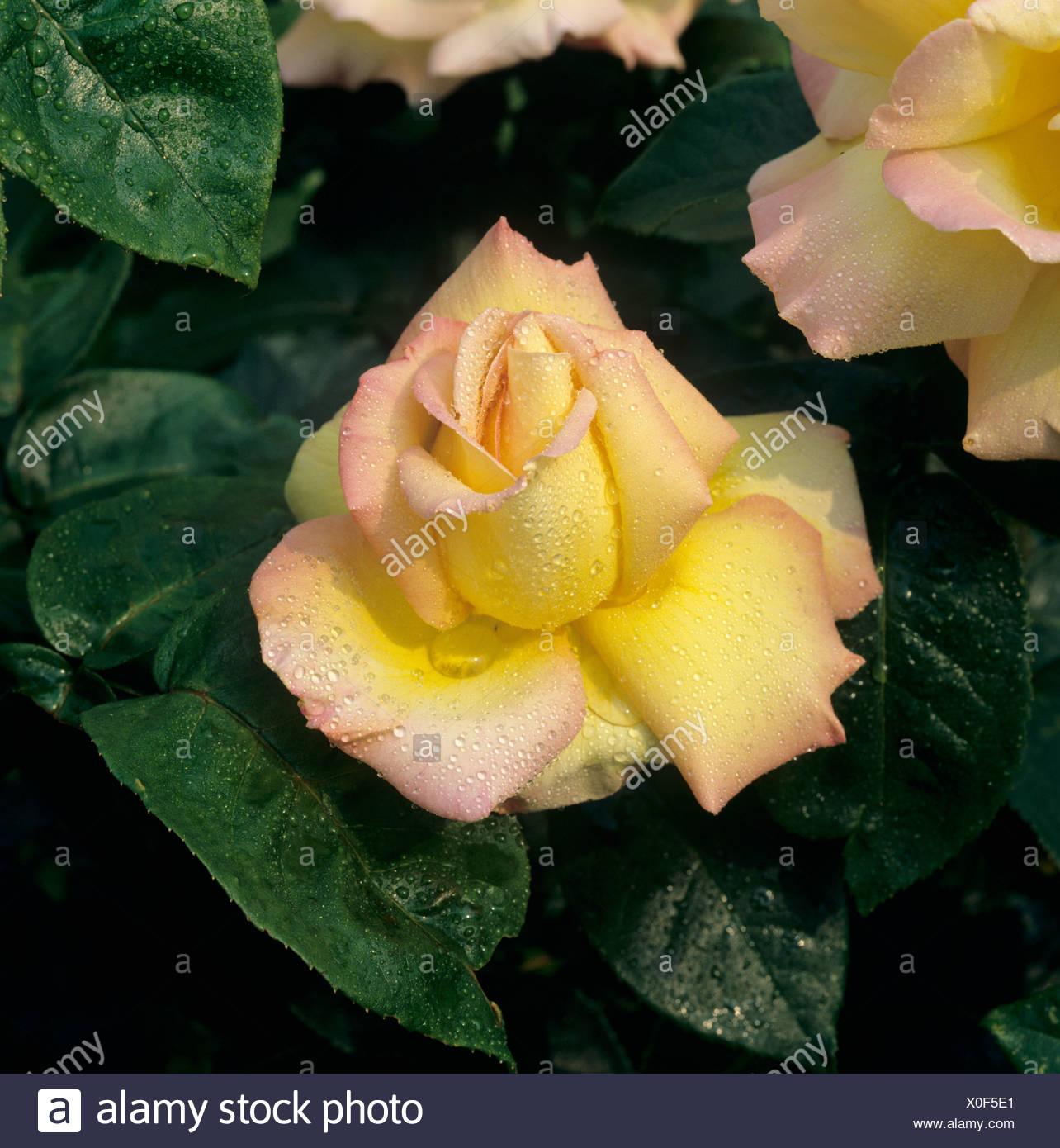 Fleur rose parfait 'Paix' avec des gouttelettes d'humidité Banque D'Images