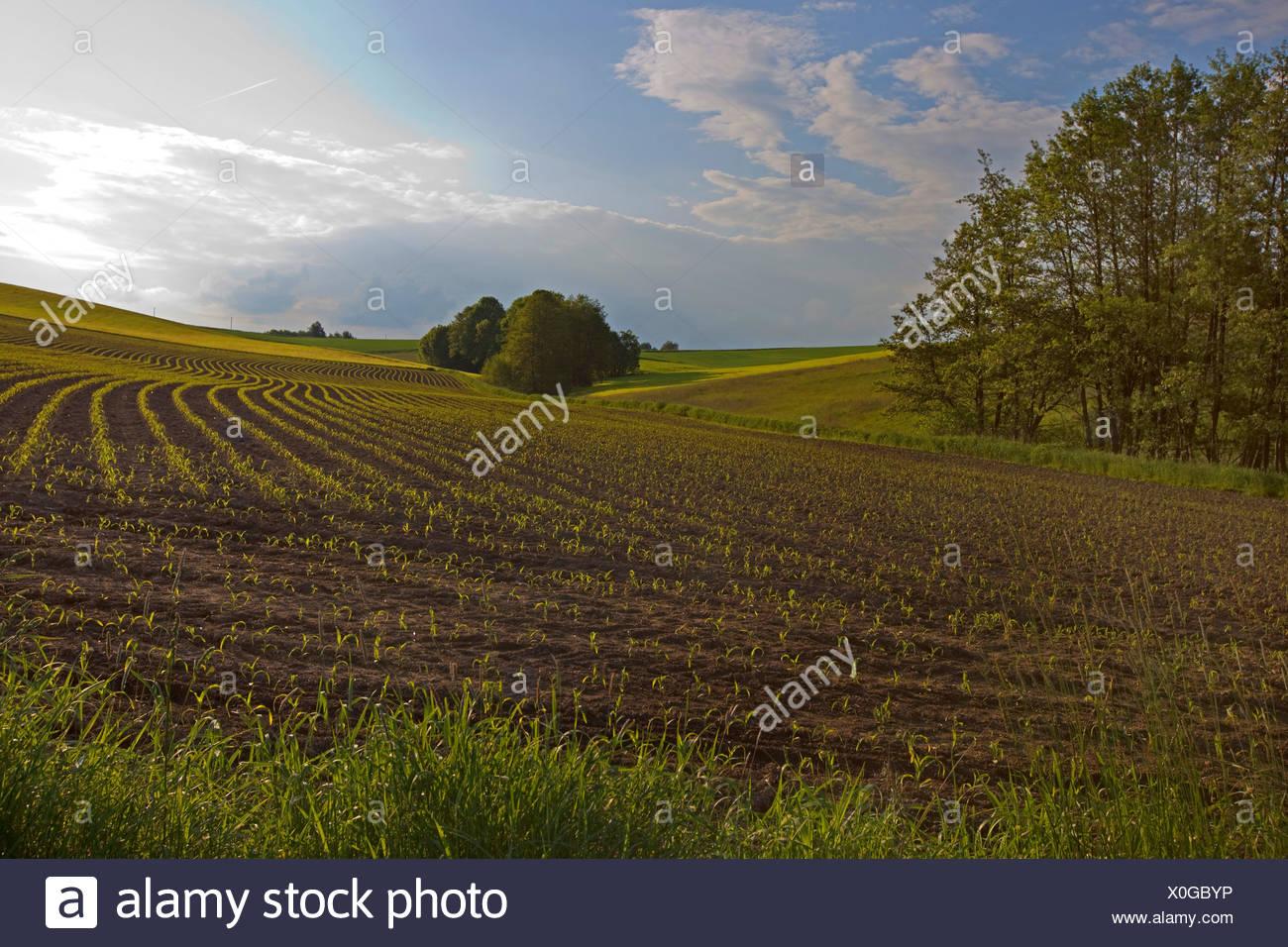Le maïs, le maïs (Zea mays), champ avec des semis, l'Allemagne, la Bavière Photo Stock