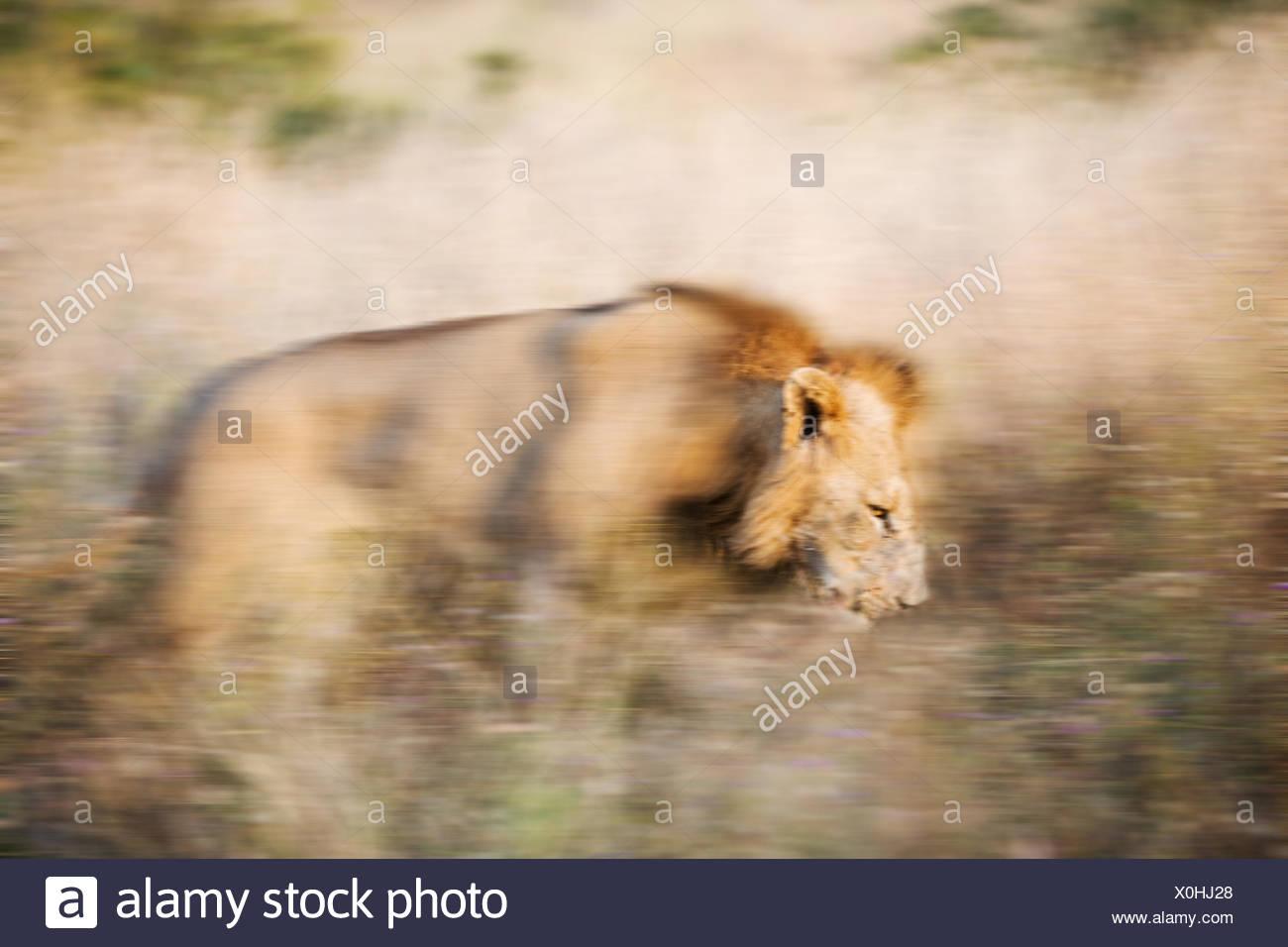 La chasse au lion prier dans l'herbe haute, Afrique du Sud Photo Stock