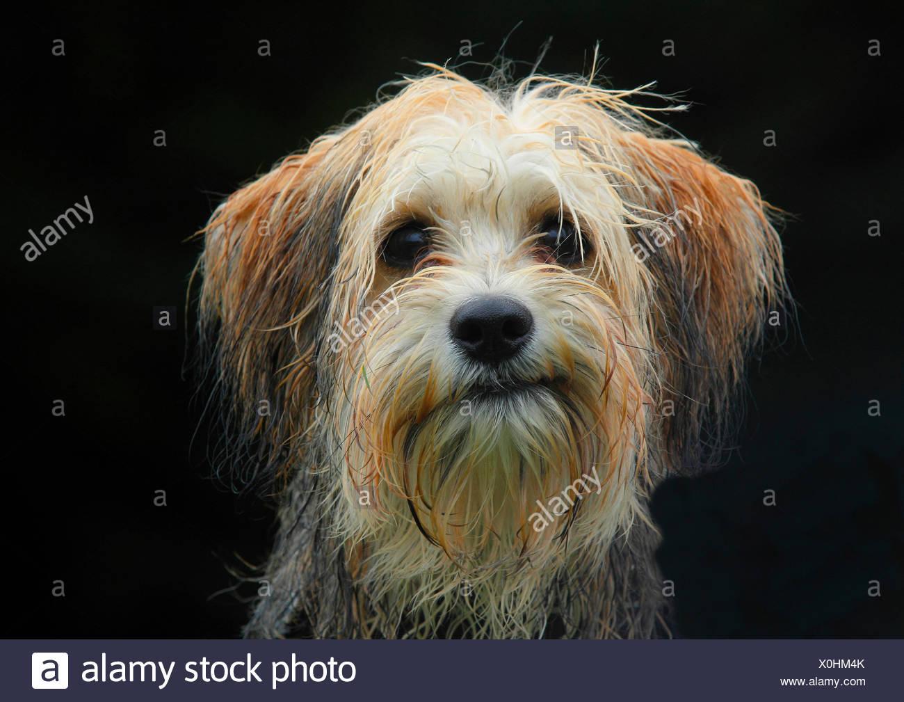 Dog (Canis lupus f. familiaris), cinq mois mâle Chihuahua maltais mixed breed dog, portrait sur fond noir, Allemagne Photo Stock