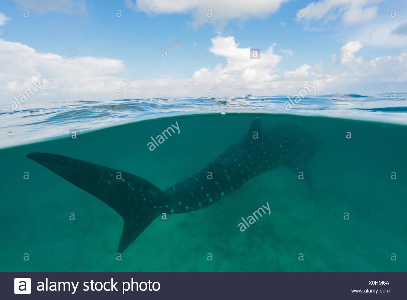 Requin-baleine natation juste sous la surface. Photo Stock