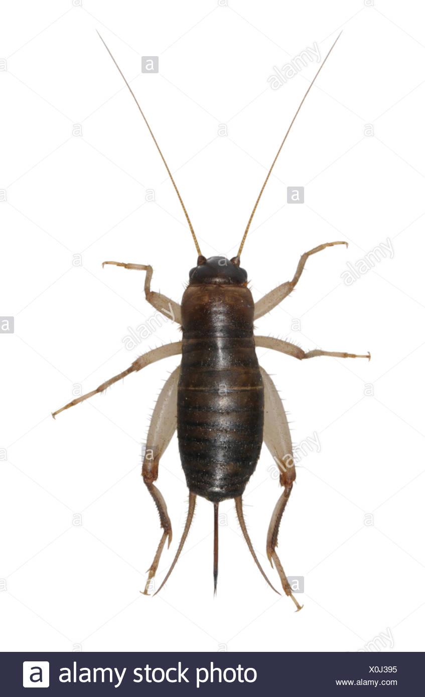 - Pseudomogoplistes vincentae Cricket écailleuse Photo Stock