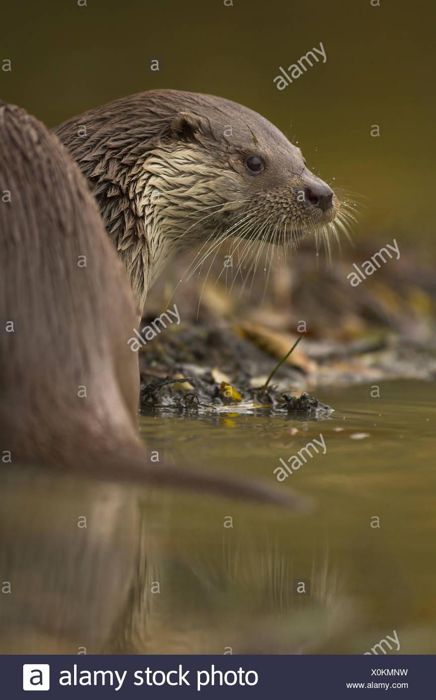 La loutre (Lutra lutra) sur les bords de la rivière. Surrey. Prisonnier Banque D'Images