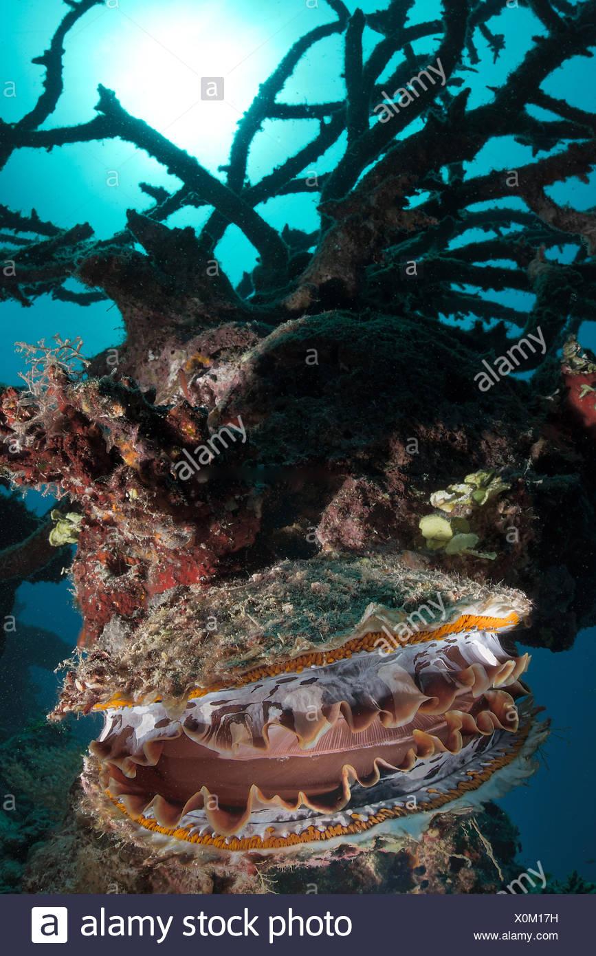 Huître épineuse sur reef - Vava'u à Tonga Photo Stock