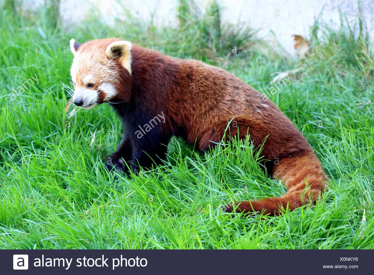 Le panda rouge, Ailurus fulgens Photo Stock