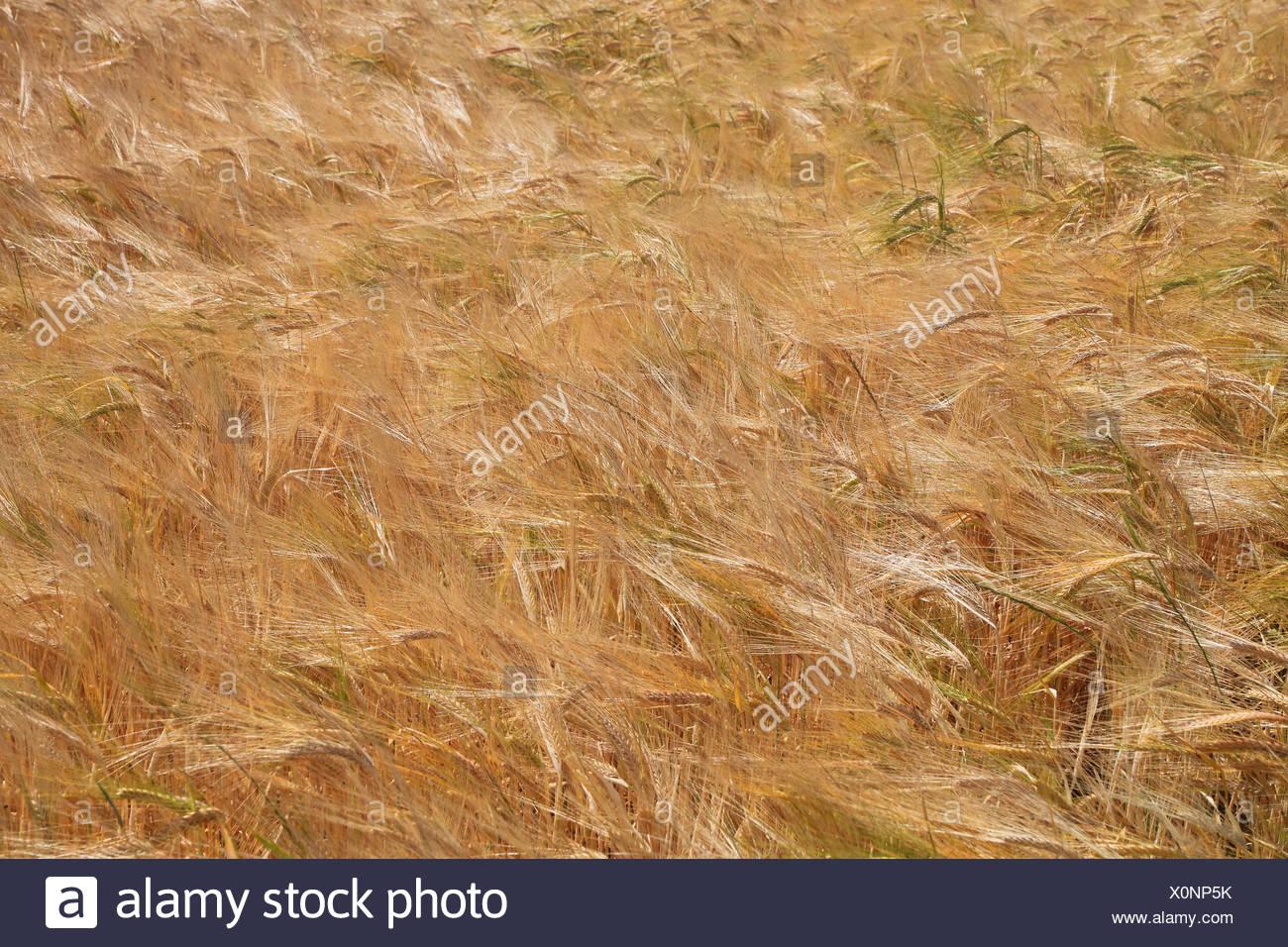 L'orge (Hordeum vulgare), champ d'orge à maturité, Allemagne Photo Stock