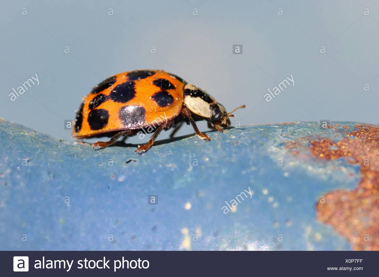 Lady Bug Banque D'Images