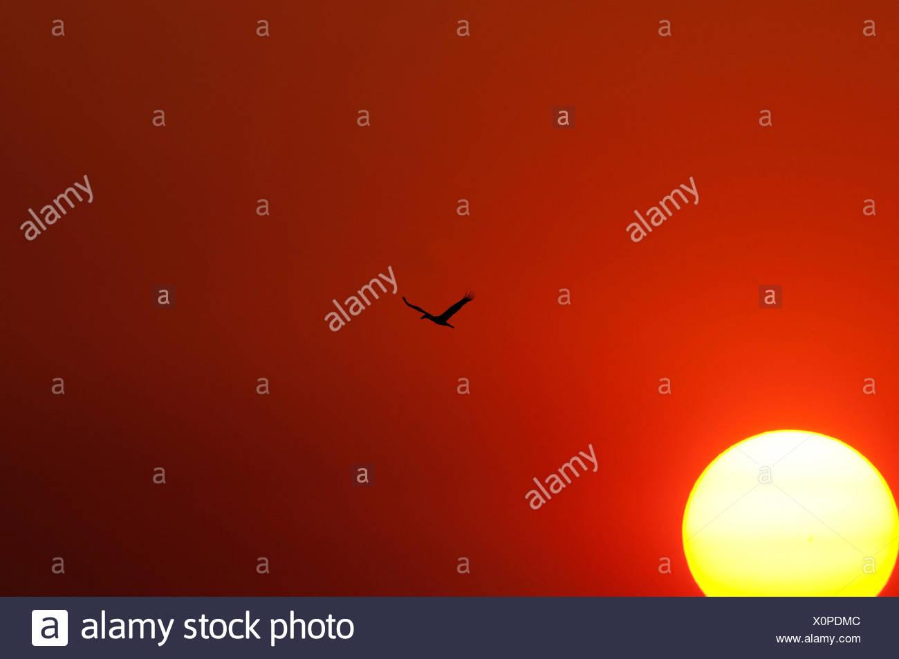 Asian openbill, voler, Thaïlande, bec ouvert, indien, oiseau, échassier, anastomus oscitante, vol, coucher du soleil Photo Stock
