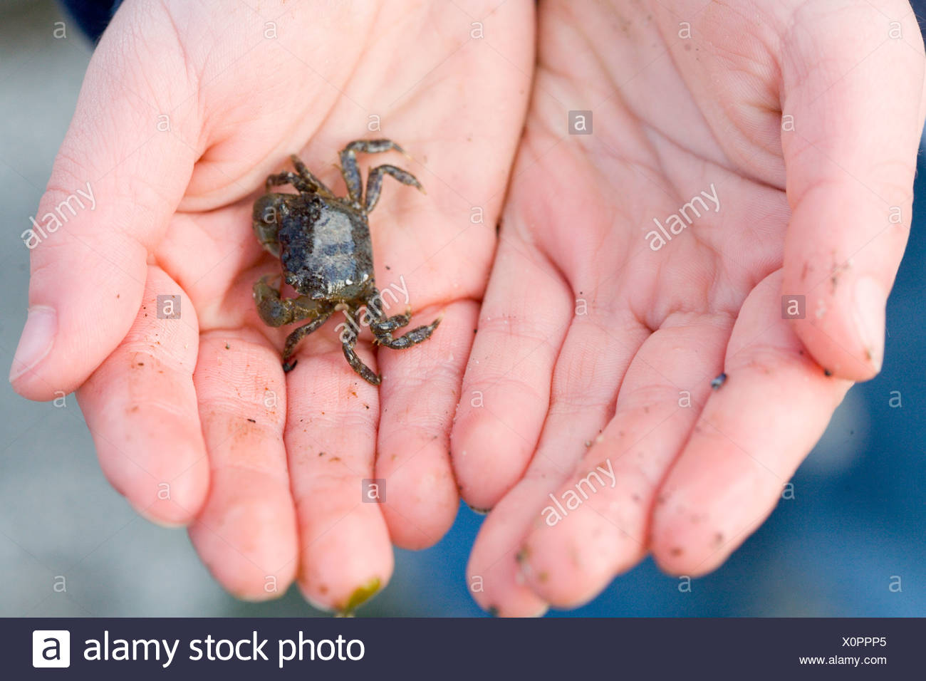 Human hand holding crabe, close-up Photo Stock