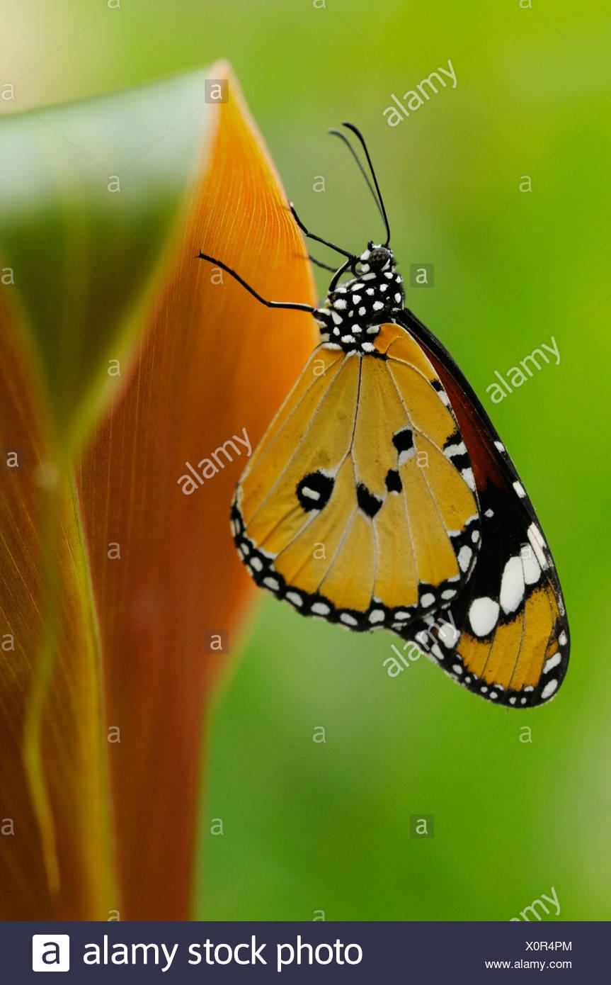 Papillon Monarque Danaus plexippus sur des feuilles de Canna avec les ailes fermées et dessous visible. Photo Stock