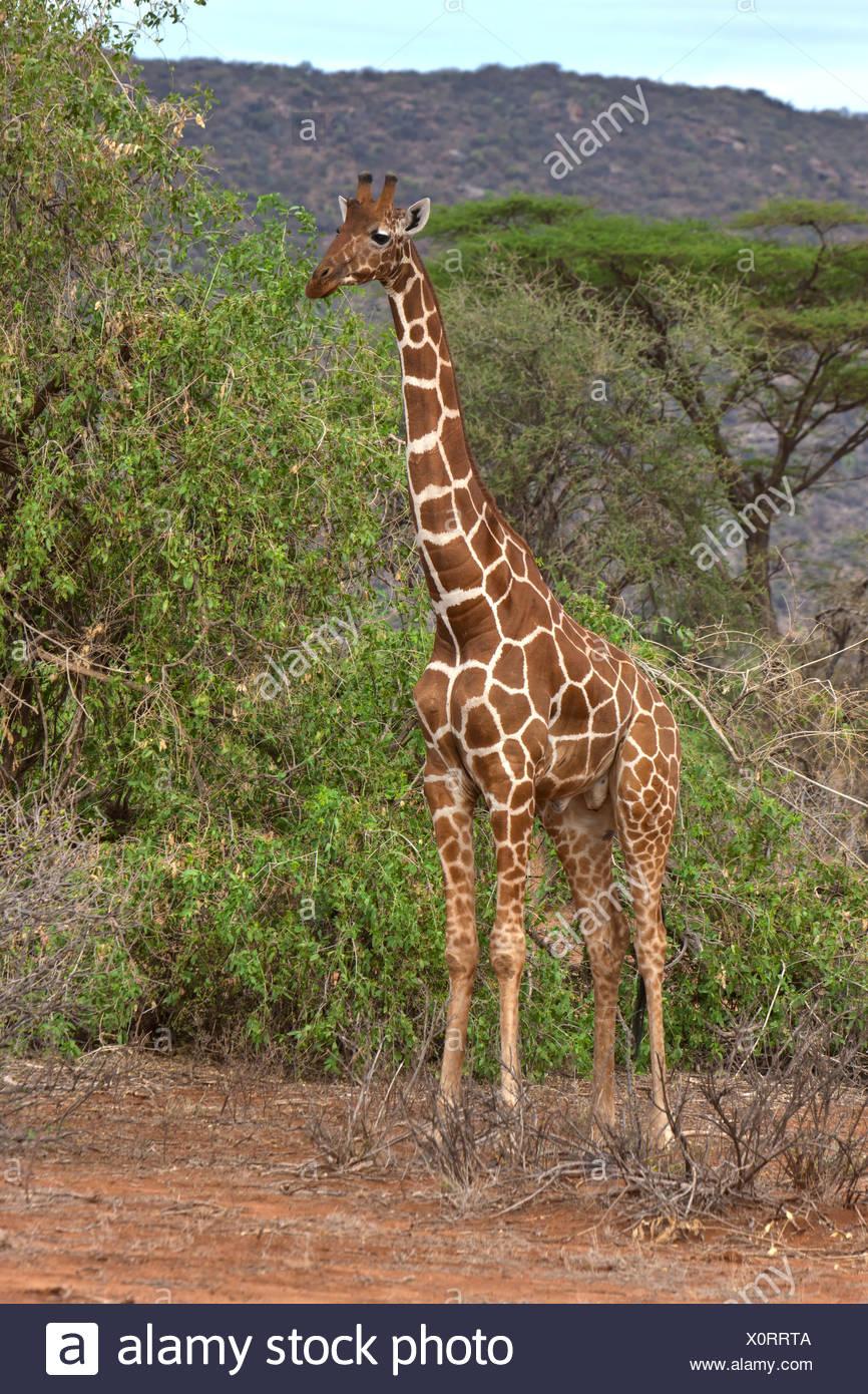 Giraffe réticulée (Giraffa camelopardalis reticulata), Samburu National Reserve, Kenya, Afrique de l'Est, PublicGround Banque D'Images