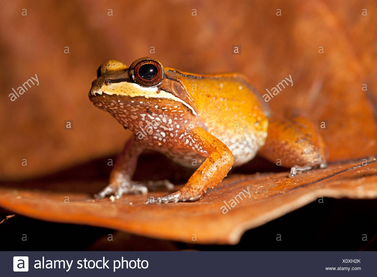 Photo d'une grenouille d'Amérique du Sud Photo Stock