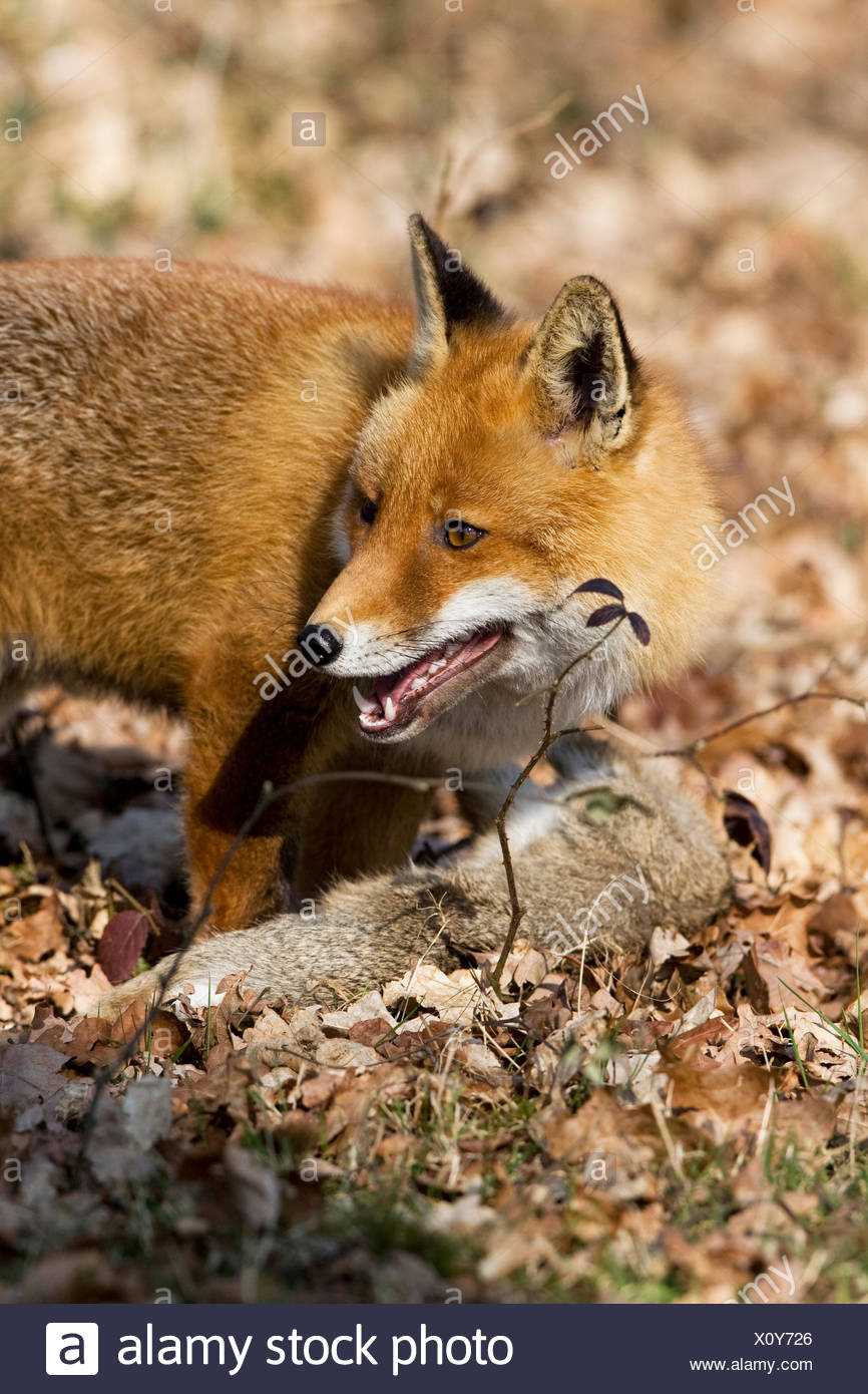 Le renard roux, Vulpes vulpes, homme chasse lapin sauvage, Normandie Photo Stock